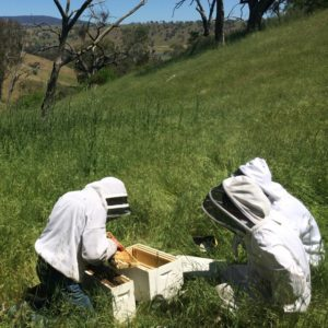 Transferring bees to their new hive