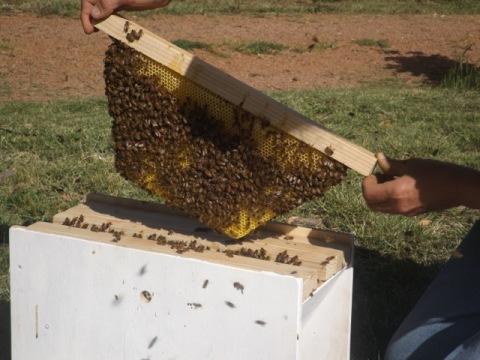 Warre bee frame